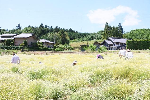 渋川飯塚ファームのカモミール畑